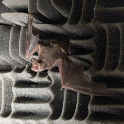 Mexican free-tail bat on acoustic foam