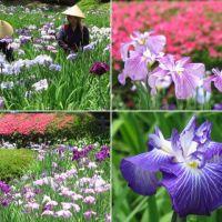 町田・薬師池公園の花菖蒲