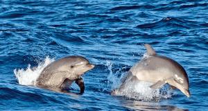 Delfini a Maiorca