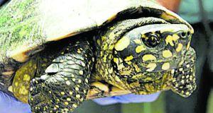 Traffico di tartarughe Maiorca - immagine Diario de Mallorca