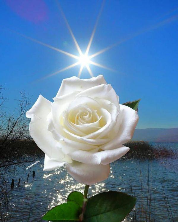 linda rosa branca e lagoa