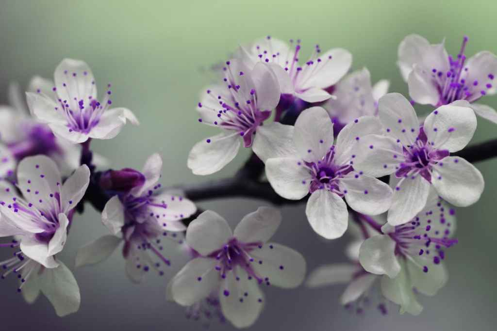 White and purple blossoms on a tree branch. Anxiety.