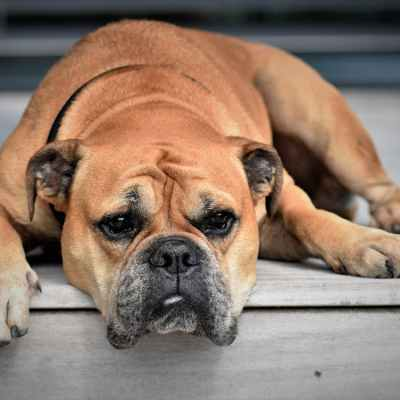 An older brown bulldog lays on the wooden porch. Dog arthritis.