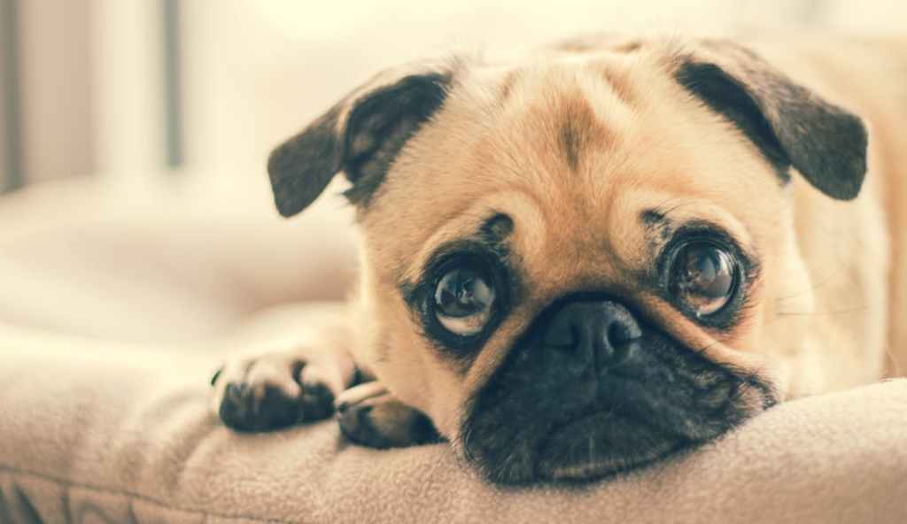 A fawn pug lays on a dog bed looking up into the camera.