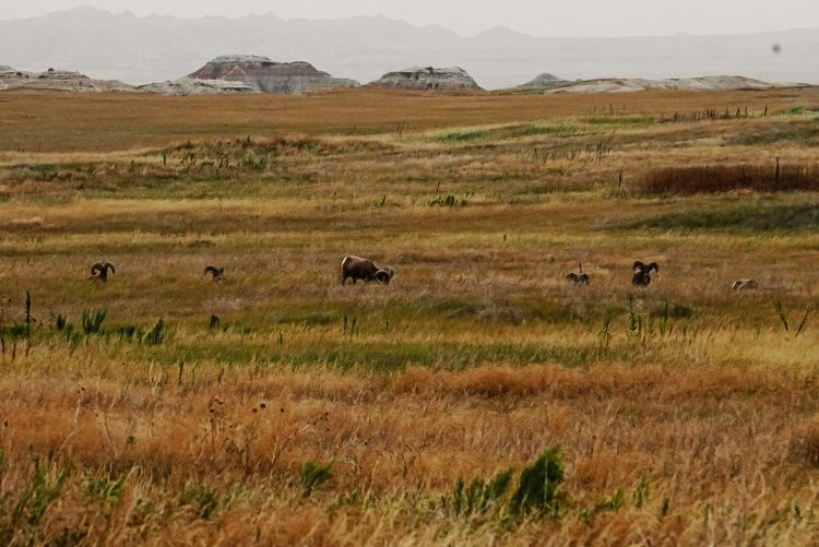 Bighorns grazing in Badlands