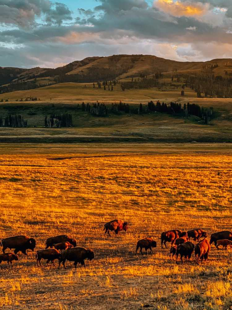 Lots of bison at sunset in Yellowstone