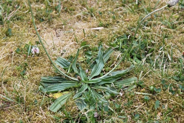 Wild Plantain with Stems and Flowers
