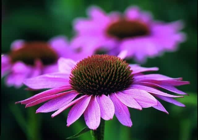Echinacea by avogel on flickr