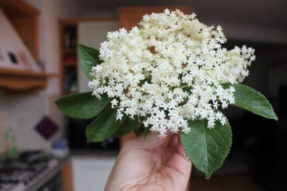 one elderflower head