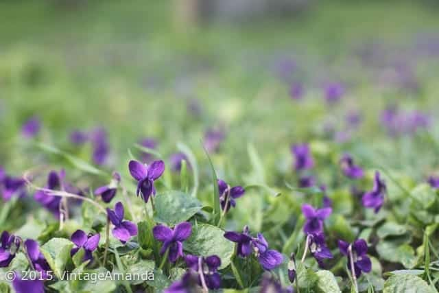 early spring violets in London