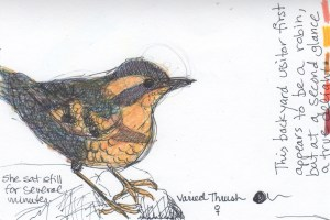 Varied Thrush colored pencil drawing with journal notes.