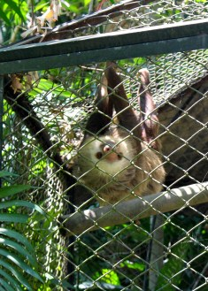 Two toed sloth, Zoologica Simon Bolivar