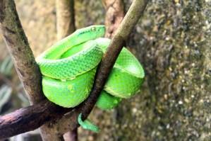 Lora, venomous snake