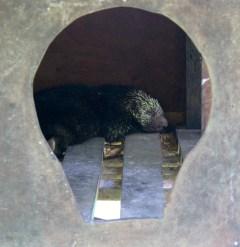 Prehensile-tailed porcupine