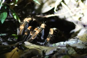 Tarantula on the Santamaria Night Walk