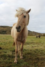 One of the Icelandic beauties we met