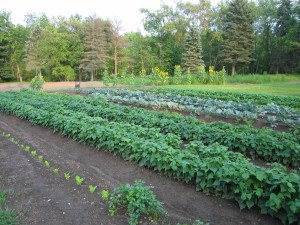 Just a small portion of the family garden, neatly laid out and ready to produce a bumper crop.