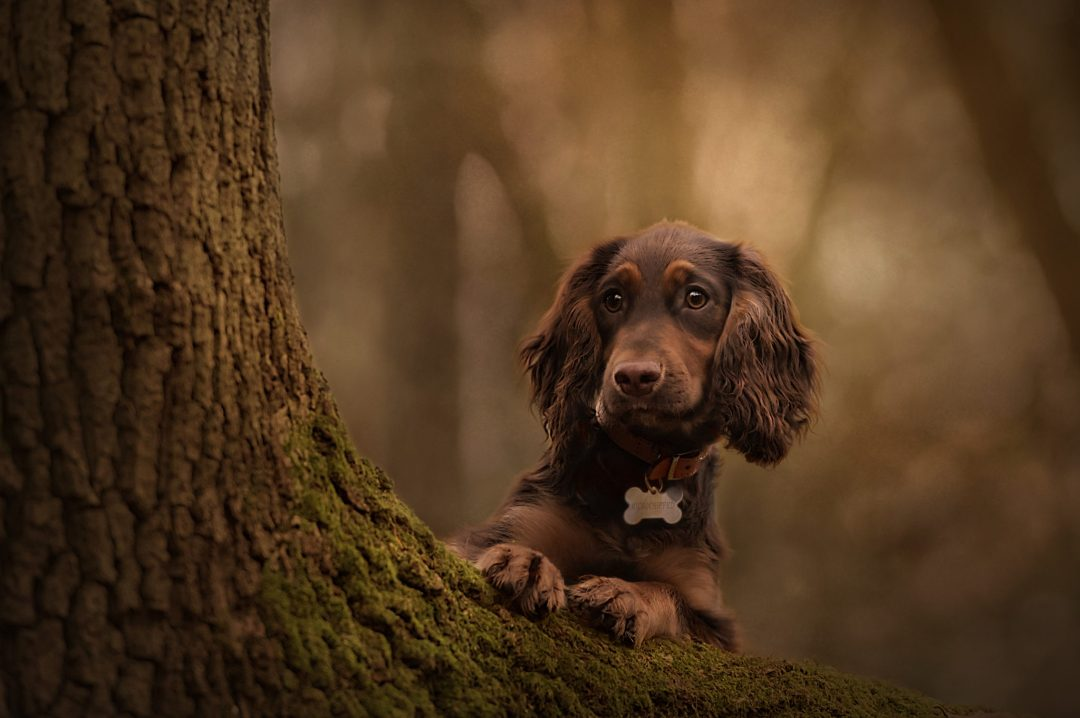 Dachshund black dog woods