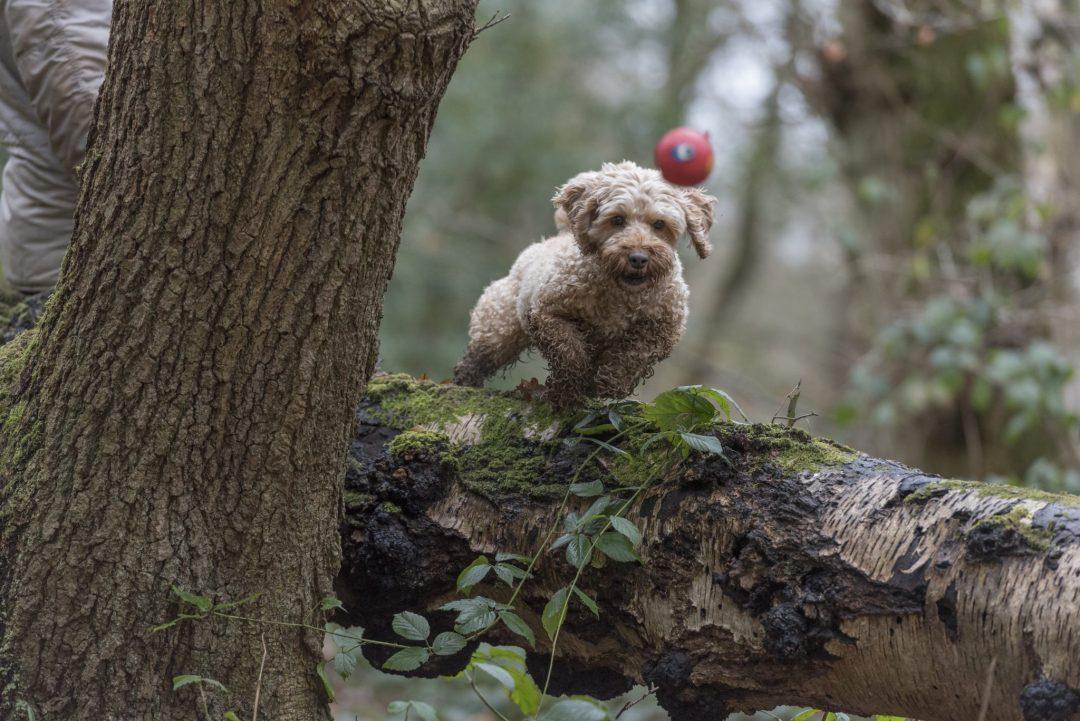 Cockerpoo chasing the ball