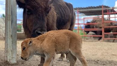 Photo of Nace el primer bisonte americano en el Estado de Querétaro
