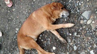 Photo of Denuncian envenenamiento de perros callejeros en Colón
