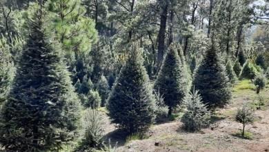 Photo of Conafor dispone más de 500 mil árboles de Navidad para la temporada