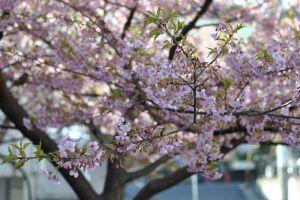 豪徳寺山下の河津桜