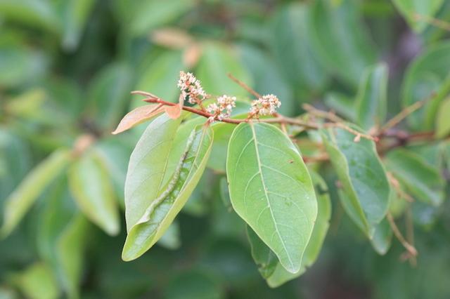 les feuilles de kinkeliba
