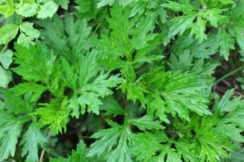 L'Artemisia : la plante féminine par excellence