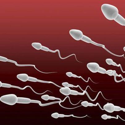 La production de spermatozoïdes