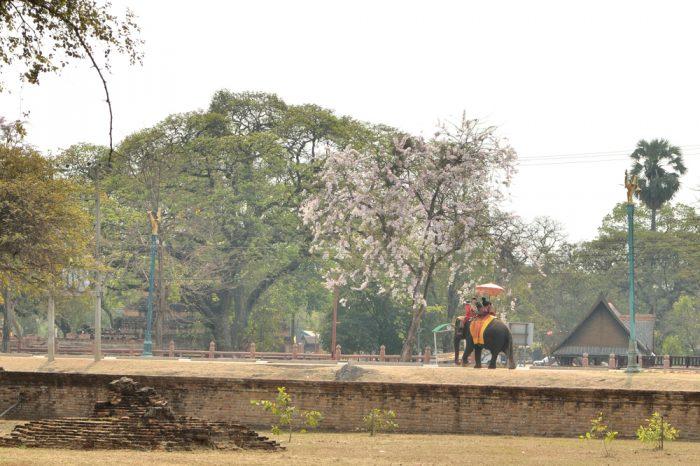 Ayutthaya, promenade à dos d'éléphant et cerisiers en fleurs