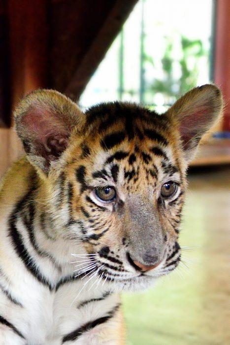 Vers Chiang-Mai, à Tiger Kingdom