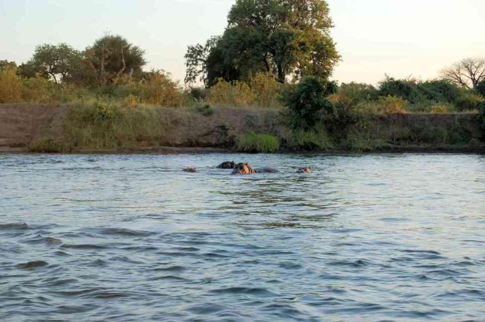 Hipopótamos no rio Zambeze