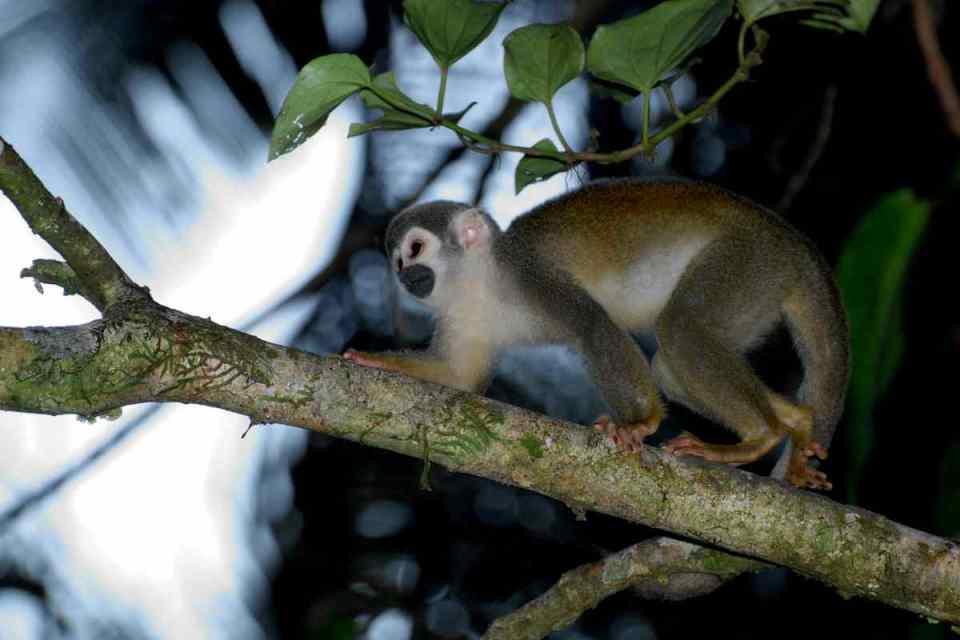 Macaco-Esquilo de Guiana