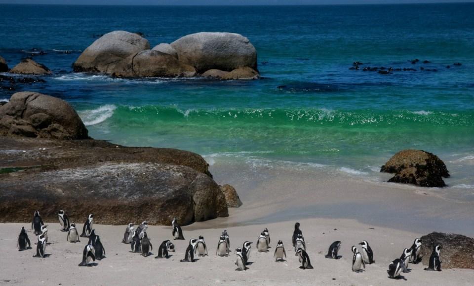 Pinguins nas praias da Cidade do Cabo