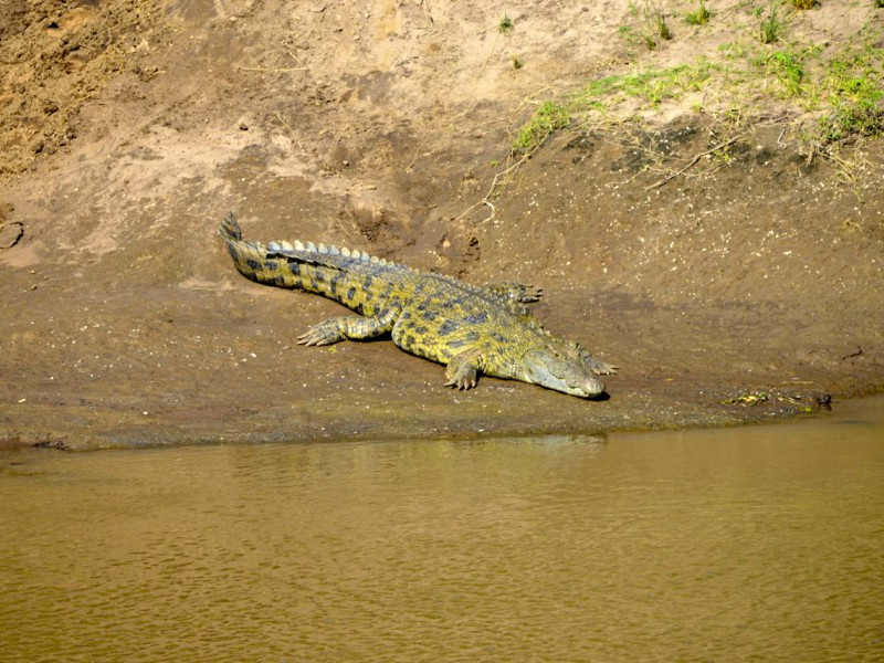 Crocodilo-do-Nilo