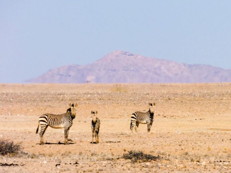 Zebras na Namíbia