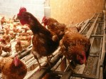 poules Laurence 53