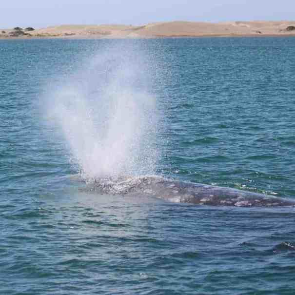 Walbeobachtung Mexiko Baja California