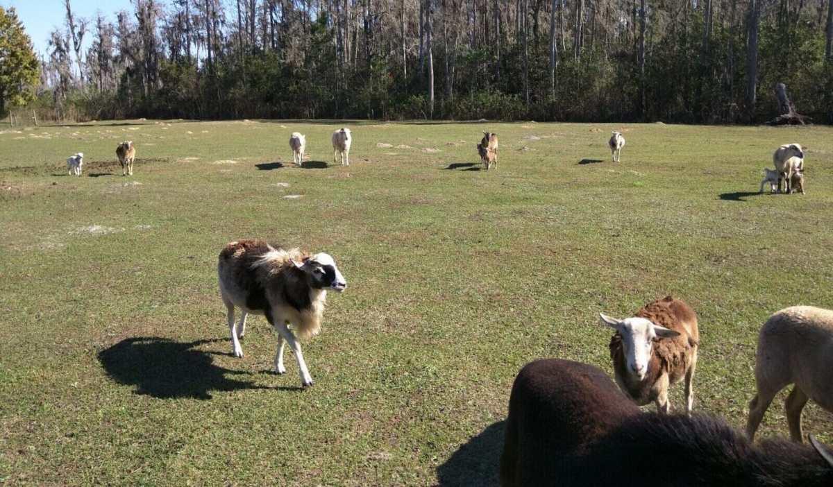 St Croix Sheep