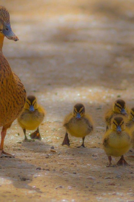 Raising Ducks at Home