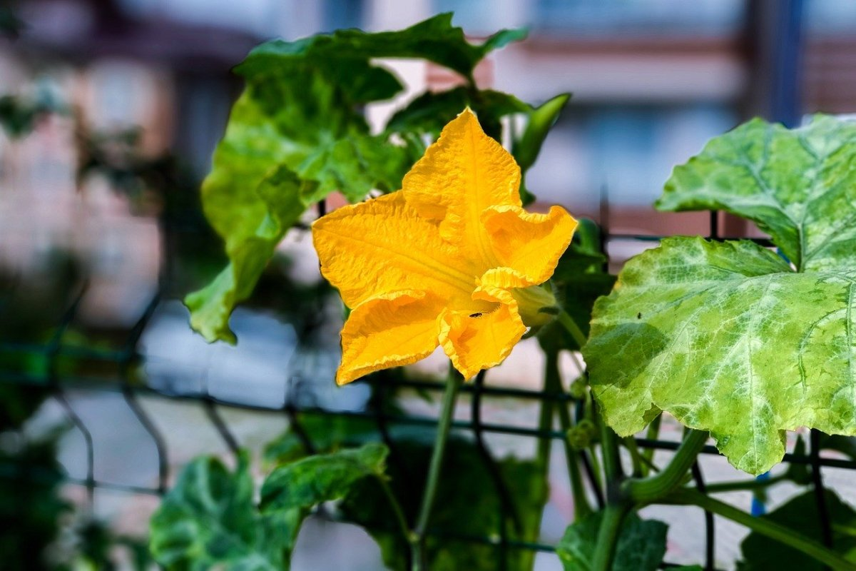 My Experience Growing Squash