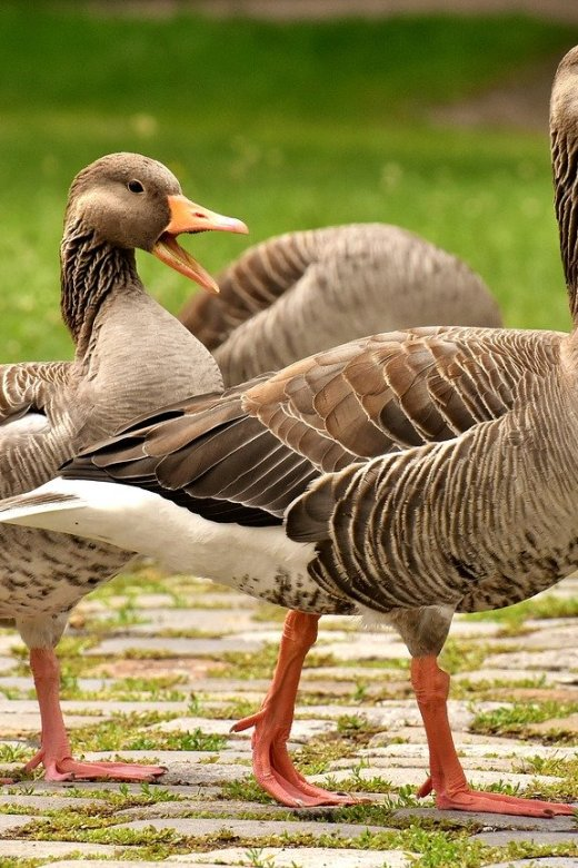 Choosing the Right Breed of Goose