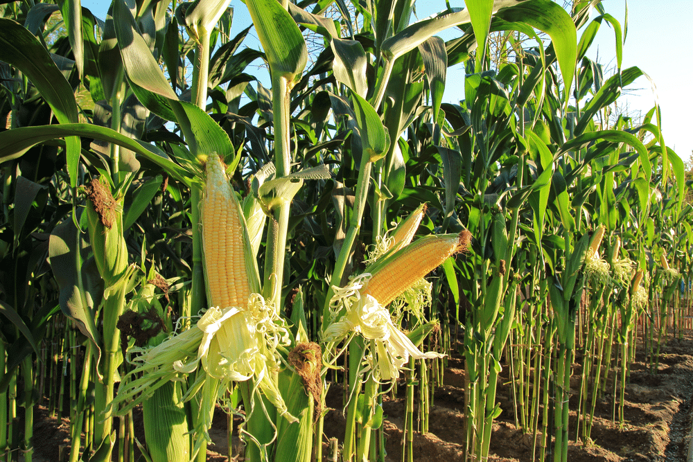 What Is the Best Time for Planting Sweet Corn in Florida