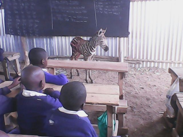 Baby Zebra tresspassing in the cattle dip classroom