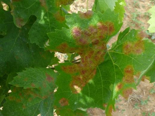 Mildew on top of leaf