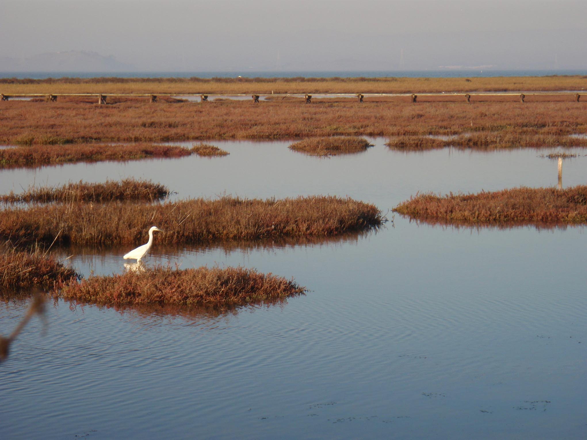 Palo Alto Baylands - Great Egret