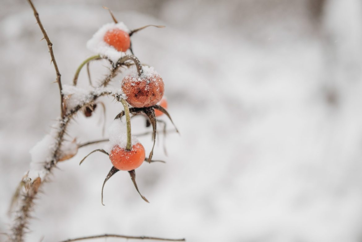 How valuable is rosehip: expert opinion