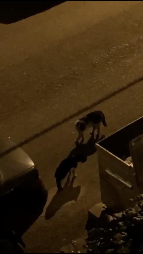 Koçların kavgasından sonra kediler sahnede