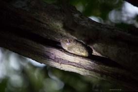 2-tangkoko-17-tarsies-smallest-primate